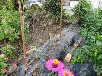 インゲン の 栽培
